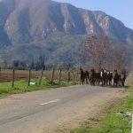 Durante enero se realizará nuevo operativo para verificar que no transiten animales de pastoreo por la vía pública